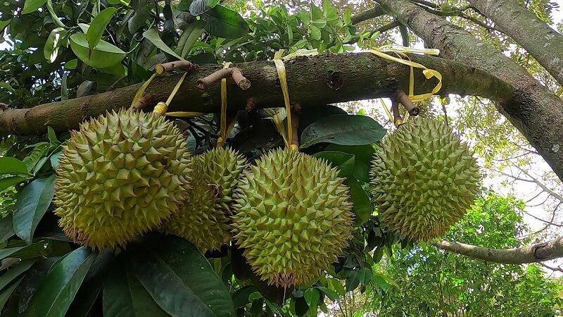 Nhiều bà con lo lắng trước thực trạng trộm trái cây hiện nay