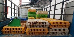 ăn trộm gà bị xử phạt như thế nào