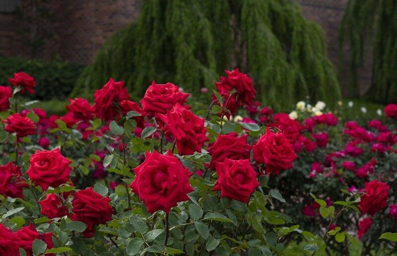cách chống trộm hoa hồng