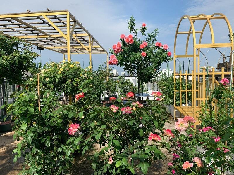 cách chống trộm cho hoa hồng